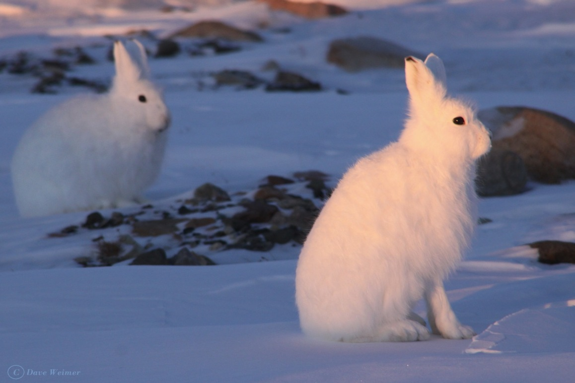 The arctic hare is quite large, weighing about 6-10 lbs.